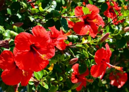 #BEAUTY: Make hair stronger and thicker with Hibiscus Oil