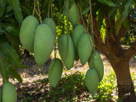# Sanjeevani herbs are mango leaves for patients with diabetes
